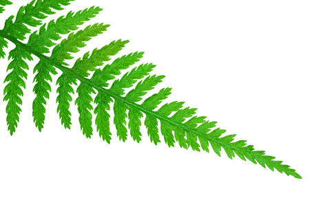 Tip of a fern leaf, isolated on white