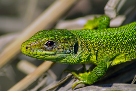 lacerta: Western Green Lizard (Lacerta bilineata) Stock Photo