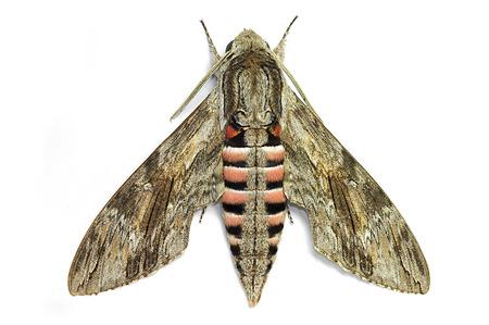 sphingidae: Convolvolus hawk-moth Herse convolvuli