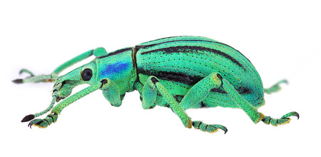 magnific: azure exotic weevil  Eupholus cuvieri  isolated on white background