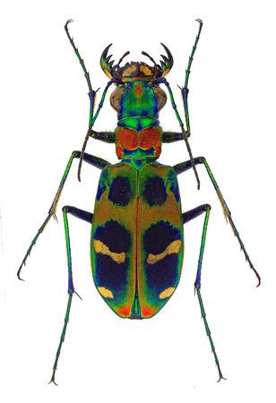 predatory: Tiger beetle Cicindela chinensis