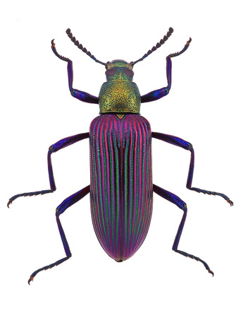 beautiful beetle  Strongylium cupripenne from Madagascar  Tenebrionidae
