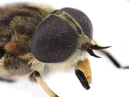 irritate: Horsefly look  Tabanus sp  Stock Photo