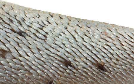 detail of cow tongue, isolated on white background