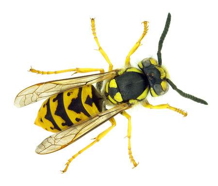 European wasp Vespula germanica Stock Photo - 26082022