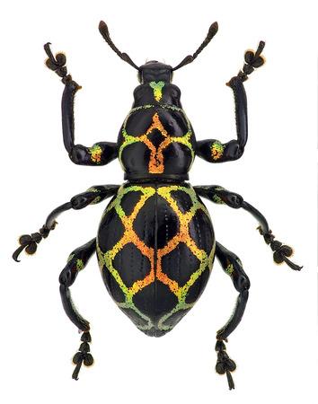 exotic weevil Pachyrhynchus reticulatus