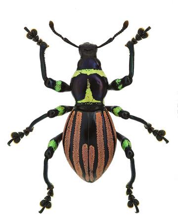 エキゾチックなゾウムシ Pachyrhynchus loheri