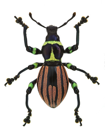 exotic weevil Pachyrhynchus loheri