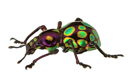 magnific: amazing exotic weevil Pachyrhynchus gemmatus