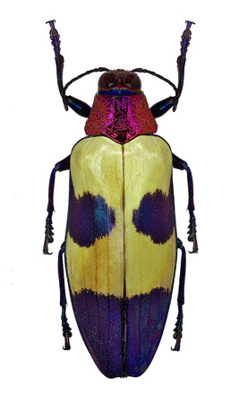 Exotic jewel beetle Chrysochroa buqueti from Thailand Stock Photo
