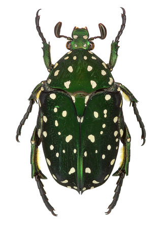 Exotic flower beetle Protaetia niveoguttata from Laos