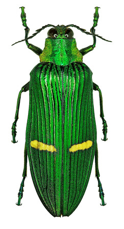 Exotic jewel beetle Catoxantha opulenta from tropical Asia