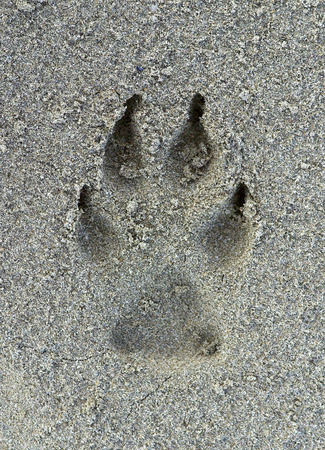 Dog footprint on the sand