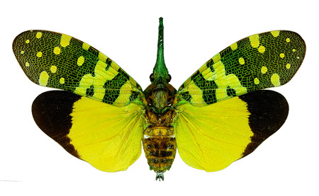 Fulgorid planthopper Pyrops viridirostris from Thailand Stock Photo