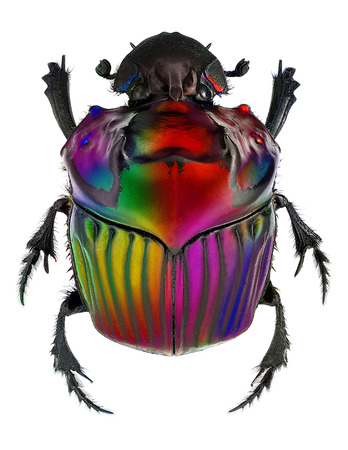 fantasy colors on Oxysternon conspicillatum dung beetle