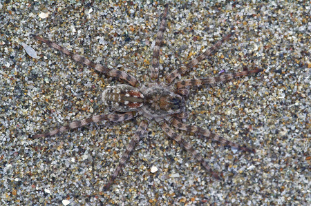Spider Arctosa cinerea, camouflaged among the sand Stock Photo