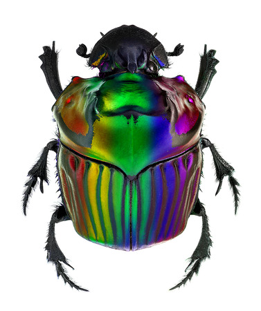 coleoptera: fantasy colors on Oxysternon conspicillatum dung beetle