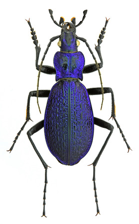 Carabus intricatus ground beetle isolated on white background Stock Photo