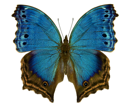 african blue butterfly Salamis Temora
