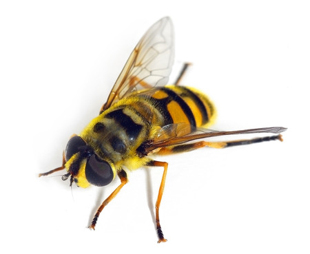 Myathropa florea, a hoverfly mimicking a bee