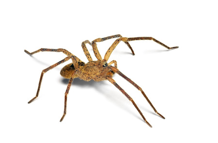predatory insect: Zoropsis spinimana house spider