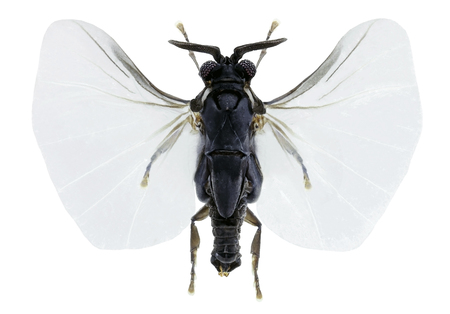 Xenos  vesparum, an insects parasite of wasps