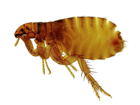 Cat flea Ctenocephalides felis Also attacking humans. Isolated on white Stockfoto