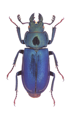 Platycerus capraea, a small European Stag-Beetle Stock Photo