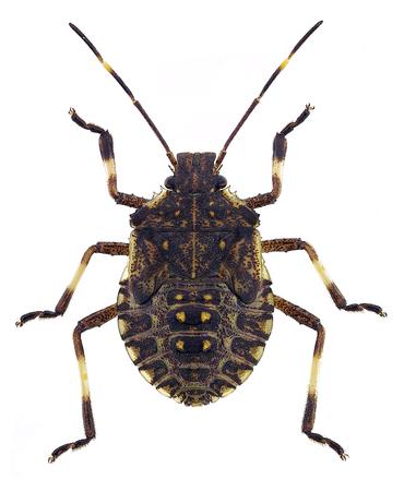 若い褐色 marmorated 悪臭を放つ茶色 marmorated 悪臭バグ (ニンフ)、アジアから害虫種 写真素材