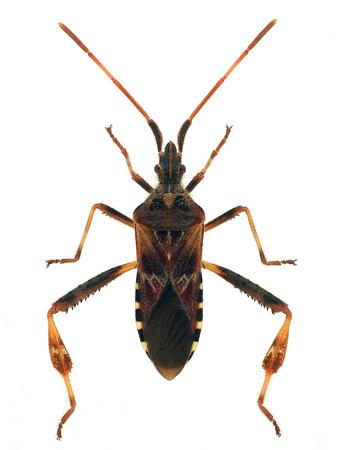マツヘリカメムシ (米国ハブソウ) 写真素材
