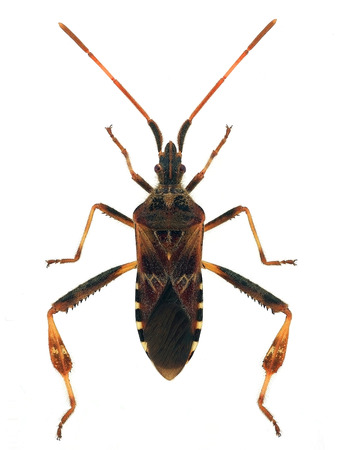 western conifer seed bug (Leptoglossus occidentalis)