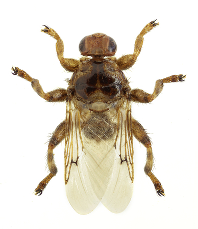 シラミ フライ Hippobosca 馬尾