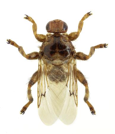 Louse fly Hippobosca equina