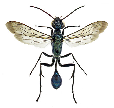 mud wasp chalybion bengalense, an Asiatic species invading Europe