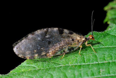 Osmylus fulvicephalus, a species of net-winged insect, perching on a leaf Stock Photo