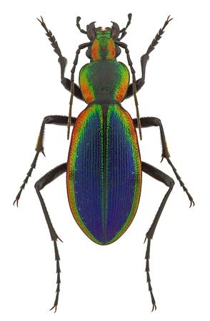 Ceroglossus チリヤシ latemarginatus、チリから虹色のオサムシ科甲虫
