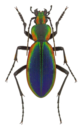 predatory insect: Ceroglossus chilensis latemarginatus, a rainbow-coloured ground beetle from Chile
