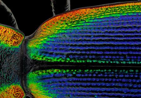Coloruful 抽象的な自然背景 (Ceroglossus チリヤシ ビートルの詳細) 写真素材