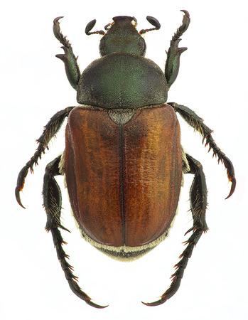 Anisoplia アグリコラ、ホワイト (男性、プレーン茶色フォーム) に分離された穀物の害虫