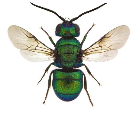 Holopyga fervida、ヨーロッパからカッコウ ハチ
