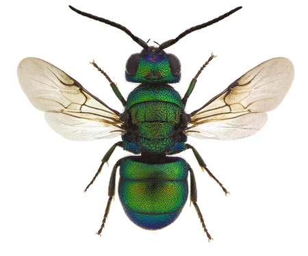 Holopyga fervida, a cuckoo wasp from Europe