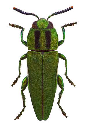 Anthaxia フンガリカ、男性、地中海諸国から玉虫