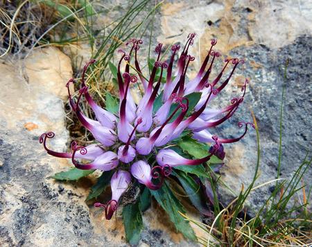 Physoplexis comosa (Garra del diablo), una rara flor alpina Foto de archivo