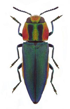 Anthaxia フンガリカ、メス、地中海諸国から玉虫