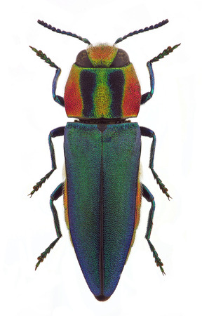 Anthaxia hungarica, female, a jewel beetle from Mediterranean countries