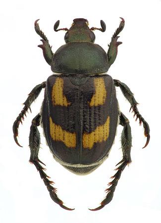 Anisoplia アグリコラ、ホワイト (男性バンドのフォーム) に分離された穀物の害虫
