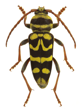 末端節 bobelayei、スズメバチを模倣したカミキリムシ