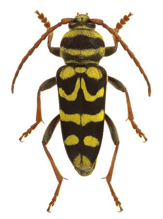 Plagionotus bobelayei, a longhorn beetle mimicking a wasp Stock Photo
