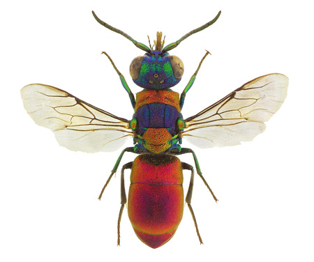 Pseudospinolia uniformis, a stunning cuckoo wasp from Europe