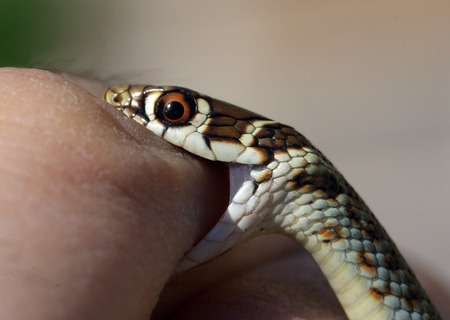 Young Green Whip Snake from Italy (Hierophius viridiflavus) biting a human finger 写真素材